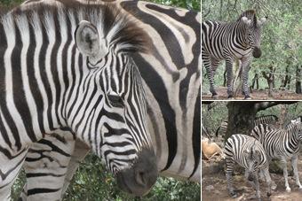 View Zebras