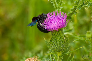 Black bumblebee gathering pollen
