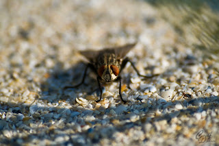 Sarcophaga Fly (Sarcophagidae family)