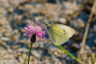 Yellow-White Butterfly (Pieridae family)