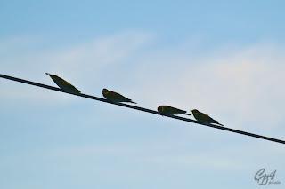 European Bee-Eater birds (Merops apiaster)