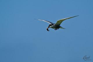 Common Tern (Sterna hirundo) seabird