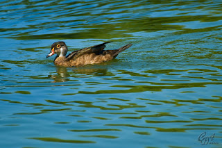 Wood Ducks or Carolina Ducks (Aix  Sponsa)