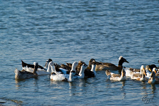 Different colored domestic ducks on a lake