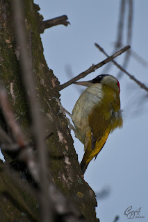 Green Woodpecker (Picus viridis)