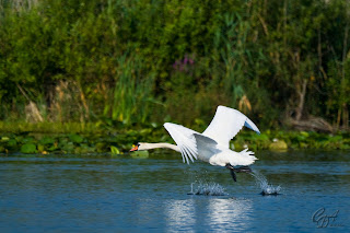 Mute Swans (Cygnus olor) taking off