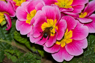 Honey Bee And Pansy
