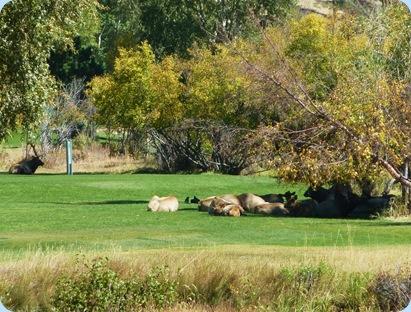 Estes Park Elk 1