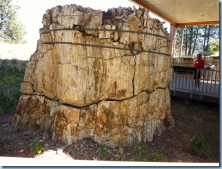 Florissant National Monument Petrified Redwood Tree 1