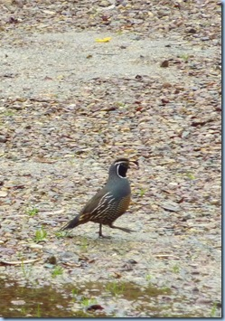 Valley Center California Quail
