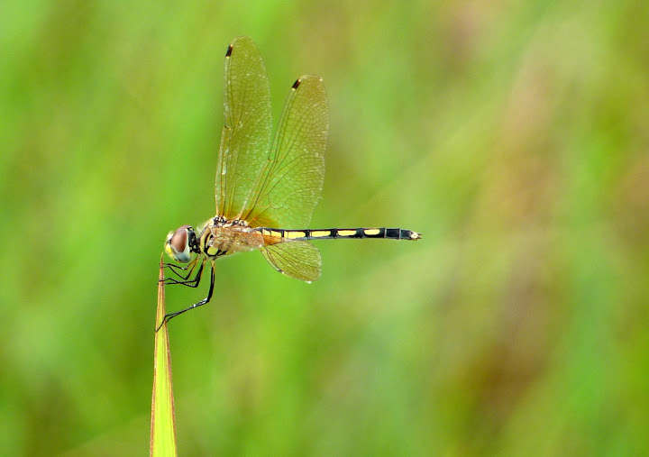 Striped Dragonfly Posing