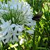 White flowers, black moth