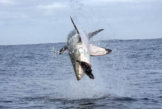 Spectacular Shark Breaching-Tubarão branco saltou quase 4 metros de altura para capturar foca de brinquedo