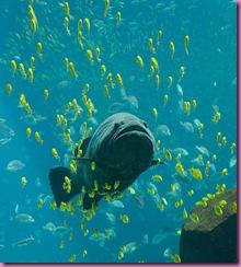 541px-Georgia_Aquarium_-_Giant_Grouper
