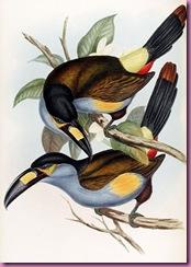 425px-Andigena_laminirostris-Gould