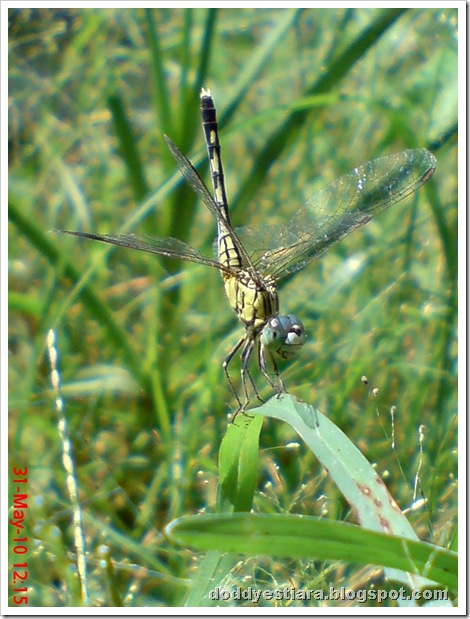 litle dragonfly 05