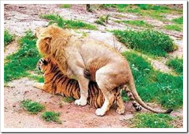 Interspecies Sex Between A Tiger and A Lion