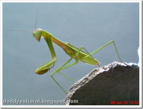 one eye praying mantis 34