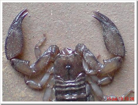 Flat-bodied scorpion 8