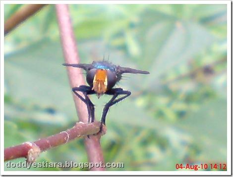 flower fly-lalat bunga 08