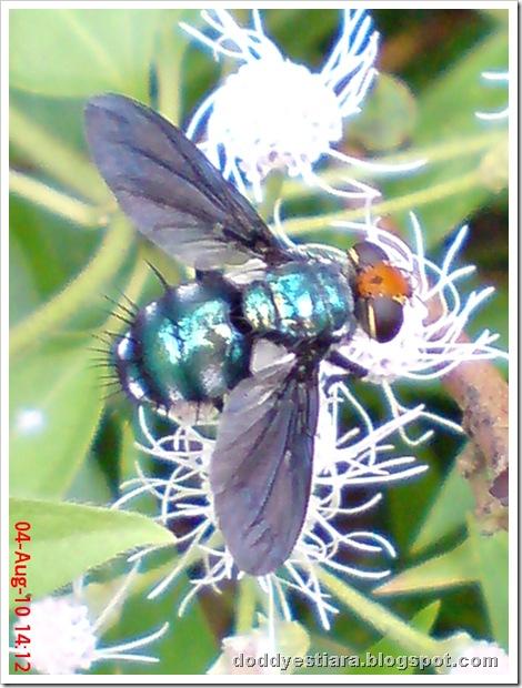 flower fly-lalat bunga 07