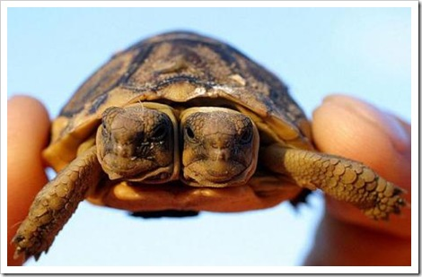 two-headed South African Tortoise