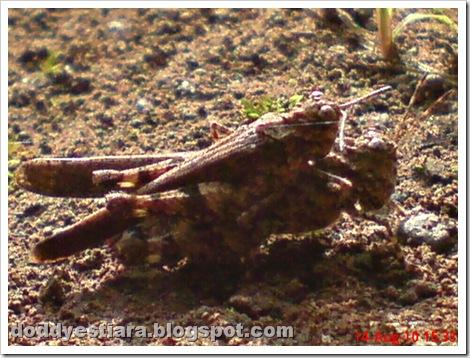brown grasshopper mating 09