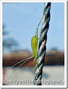 small green grasshopper 04
