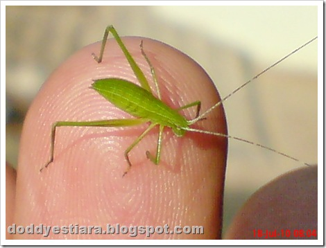 small green grasshopper 08