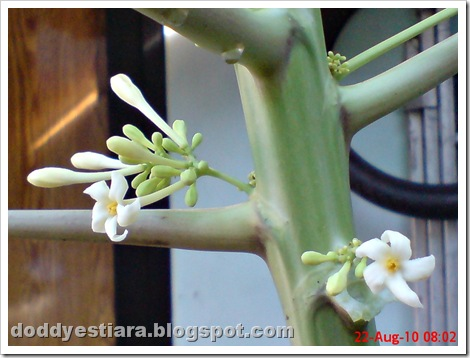 papaya flower 05