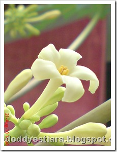 papaya flower 07