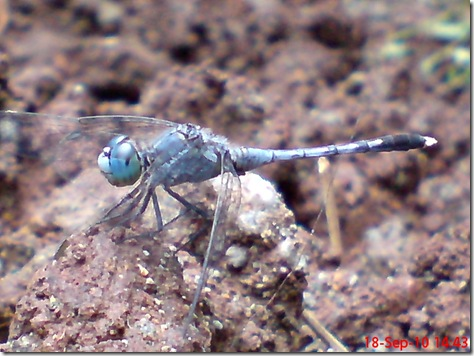 small blue dragonfly 3