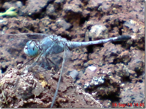 small blue dragonfly 6