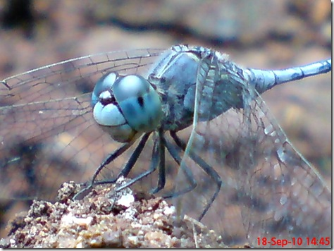 small blue dragonfly 8