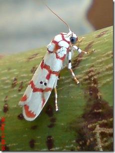 ngengat putih bergaris merah 15