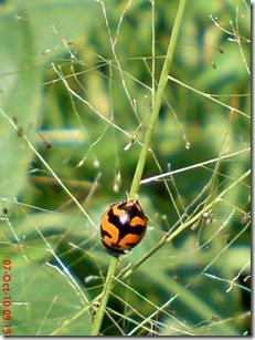 kumbang kepik 5