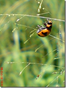 kumbang kepik 20