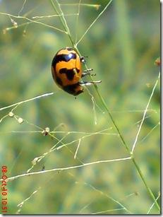 kumbang kepik 19