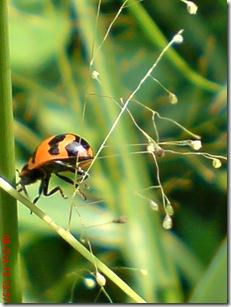 kumbang kepik 23