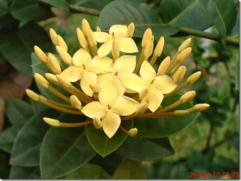 bunga siantan kuning 02