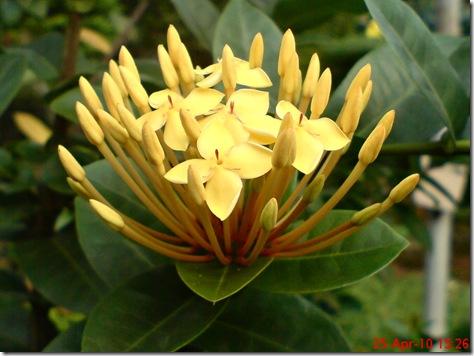 bunga siantan kuning 03