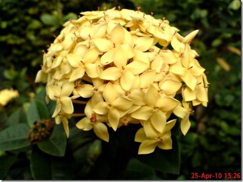 bunga siantan kuning 04