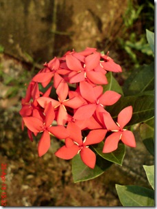 bunga siantan merah 05