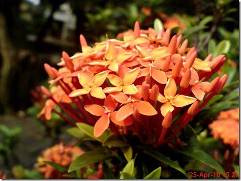 bunga siantan oranye 06