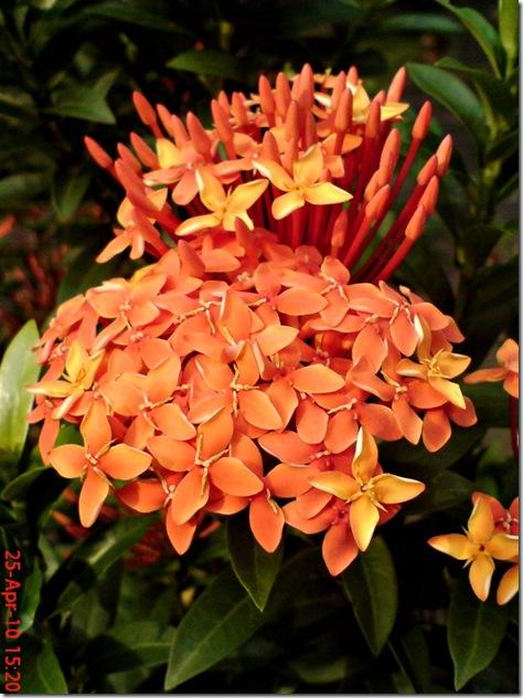 bunga siantan oranye 03