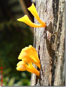 jamur kuning 30
