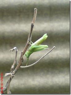 belalang ganti kulit 07
