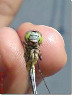 Capung hijau muda kecil a5