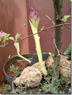 bunga temulawak 09
