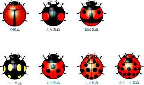 macam kumbang kepik